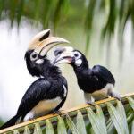 bird hornbill koh yao